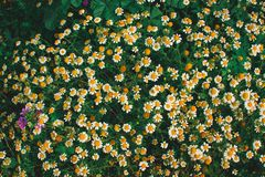 Τομέας με το υπόβαθρο πολλών μαργαριτών Κήπος χλόης άνοιξη αναδρομικός στοκ εικόνα