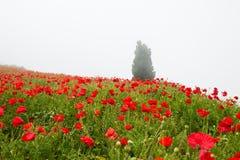 Τομέας με όμορφες κόκκινες παπαρούνες Στοκ Φωτογραφία