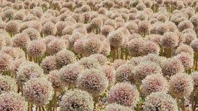 Τομέας με Allium Globemaster στις Κάτω Χώρες φιλμ μικρού μήκους