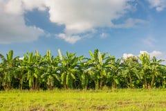 Τομέας μπανανών, αγρόκτημα μπανανών με το υπόβαθρο μπλε ουρανού Στοκ Εικόνες