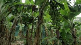 Τομέας μπανανών με τη δέσμη των πράσινων μπανανών φιλμ μικρού μήκους