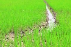 Τομέας ορυζώνα ή τομέας ρυζιού Στοκ φωτογραφίες με δικαίωμα ελεύθερης χρήσης