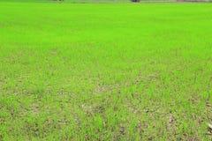 Τομέας ορυζώνα ή τομέας ρυζιού Στοκ Εικόνα