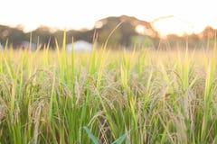 Τομέας ορυζώνα ρυζιού Στοκ φωτογραφία με δικαίωμα ελεύθερης χρήσης