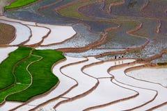 Τομέας ορυζώνα ρυζιού Στοκ Εικόνα
