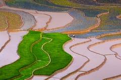 Τομέας ορυζώνα ρυζιού Στοκ εικόνες με δικαίωμα ελεύθερης χρήσης