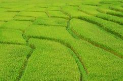 Τομέας ορυζώνα ρυζιού Στοκ Εικόνες