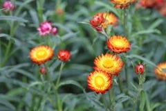 Τομέας λουλουδιών αχύρου Στοκ φωτογραφία με δικαίωμα ελεύθερης χρήσης