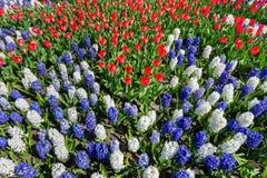 Τομέας λουλουδιών με τις κόκκινους άσπρους μπλε τουλίπες και τους υάκινθους Στοκ Φωτογραφίες