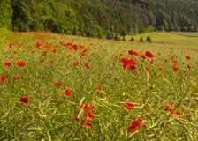 Τομέας λουλουδιών παπαρουνών Στοκ φωτογραφία με δικαίωμα ελεύθερης χρήσης