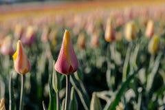 Τομέας λουλουδιών παρφαί τουλιπών Στοκ φωτογραφίες με δικαίωμα ελεύθερης χρήσης