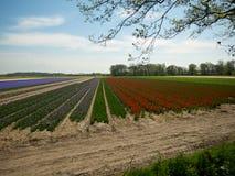 Τομέας λουλουδιών στις Κάτω Χώρες Στοκ Φωτογραφίες