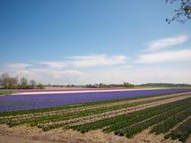 Τομέας λουλουδιών στις Κάτω Χώρες Στοκ εικόνες με δικαίωμα ελεύθερης χρήσης