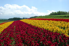 Τομέας λουλουδιών στο Hokkaido Στοκ Εικόνες