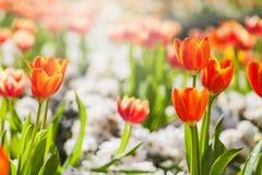 Τομέας λουλουδιών τουλιπών με το φως Στοκ φωτογραφία με δικαίωμα ελεύθερης χρήσης