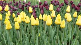 Τομέας λουλουδιών τουλιπών τα λουλούδια εμβλημάτων ανασκόπησης διαμορφώνουν λίγη ρόδινη σπείρα απόθεμα βίντεο