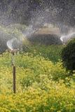 Τομέας λουλουδιών canola ποτίσματος Στοκ εικόνα με δικαίωμα ελεύθερης χρήσης