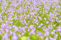 Τομέας λουλουδιών, giganteum Murdannia Στοκ Εικόνες