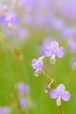 Τομέας λουλουδιών, giganteum Murdannia Στοκ Φωτογραφίες