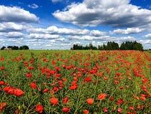 Τομέας παπαρουνών κάτω από έναν όμορφο ουρανό στοκ φωτογραφία με δικαίωμα ελεύθερης χρήσης