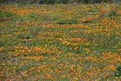 Τομέας παπαρουνών Καλιφόρνιας Στοκ φωτογραφία με δικαίωμα ελεύθερης χρήσης