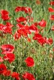 Τομέας παπαρουνών, κόκκινα λουλούδια Πράσινα και κόκκινα χρώματα στη φύση Στοκ Εικόνες