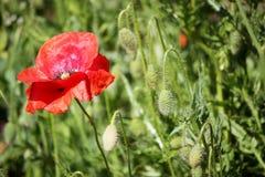 Τομέας παπαρουνών, κόκκινα λουλούδια Πράσινα και κόκκινα χρώματα στη φύση Στοκ φωτογραφία με δικαίωμα ελεύθερης χρήσης