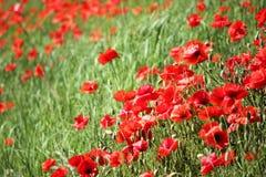 Τομέας παπαρουνών, κόκκινα λουλούδια Πράσινα και κόκκινα χρώματα στη φύση Στοκ Εικόνα