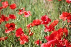 Τομέας παπαρουνών, κόκκινα λουλούδια Πράσινα και κόκκινα χρώματα στη φύση Στοκ Φωτογραφία