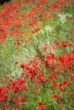 Τομέας παπαρουνών, κόκκινα λουλούδια Πράσινα και κόκκινα χρώματα στη φύση Στοκ εικόνες με δικαίωμα ελεύθερης χρήσης