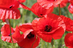 Τομέας παπαρουνών, κόκκινα λουλούδια Πράσινα και κόκκινα χρώματα στη φύση Στοκ Φωτογραφίες
