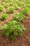 Τομέας πατατών, εγκαταστάσεις που αυξάνεται στο homegrown οργανικό φυτικό Gard στοκ εικόνα με δικαίωμα ελεύθερης χρήσης