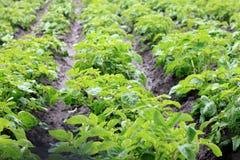 Τομέας πατατών με τους πράσινους βλαστούς των πατατών Στοκ Εικόνες