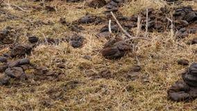 Τομέας που μολύνεται με το λίπασμα αγελάδων φρέσκο περίττωμα αγελάδων Επαρχία 4K απόθεμα βίντεο