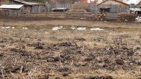 Τομέας που μολύνεται με το λίπασμα αγελάδων φρέσκο περίττωμα αγελάδων Επαρχία 4K φιλμ μικρού μήκους
