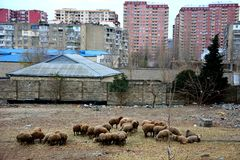 Τομέας προβάτων στα βόρεια περίχωρα του Μπακού, πρωτεύουσα του Αζερμπαϊτζάν Στοκ Εικόνες