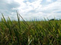 Τομέας ρυζιού ή ορυζώνα Στοκ Εικόνες
