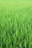 Τομέας ρυζιού από την Ταϊλάνδη Στοκ Φωτογραφία