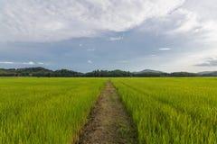 Τομέας ρυζιού, βόρειος της Ταϊλάνδης Στοκ φωτογραφία με δικαίωμα ελεύθερης χρήσης