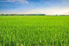 Τομέας ρυζιού και ο ουρανός Στοκ Εικόνα