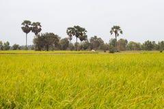 Τομέας ρυζιού με τους φοίνικες και μια αγελάδα που βόσκει στην Καμπότζη Ασία Στοκ Εικόνες