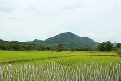 Τομέας ρυζιού με το βουνό στοκ φωτογραφία με δικαίωμα ελεύθερης χρήσης