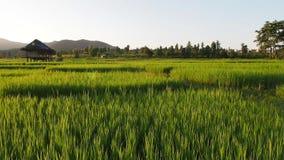 Τομέας ρυζιού με το μήκος σε πόδηα καλυβών μπαμπού απόθεμα βίντεο