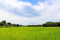 Τομέας ρυζιού με το νεφελώδη ουρανό στοκ εικόνες με δικαίωμα ελεύθερης χρήσης