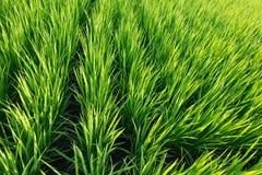Τομέας ρυζιού, τομέας ορυζώνα στην Ιαπωνία το καλοκαίρι Στοκ φωτογραφία με δικαίωμα ελεύθερης χρήσης