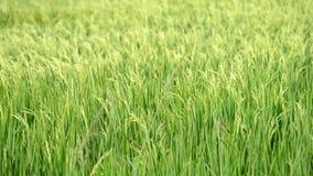 Τομέας ρυζιού ορυζώνα απόθεμα βίντεο