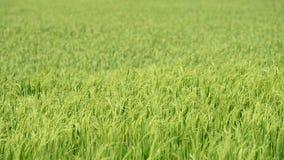 Τομέας ρυζιού ορυζώνα φιλμ μικρού μήκους