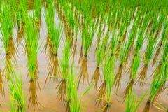 Τομέας ρυζιού πεζουλιών πέρα από το βουνό Στοκ φωτογραφίες με δικαίωμα ελεύθερης χρήσης