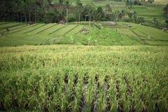Τομέας ρυζιού σε Jatiluwih, Μπαλί, Ινδονησία Στοκ Φωτογραφίες