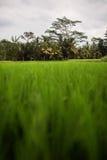 Τομέας ρυζιού σε Ubud Στοκ Εικόνα